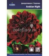 Георгина Arabian Night /1