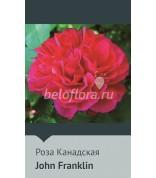Роза John Franklin  Канада 100-125,(непрерыв)
