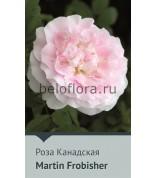 Роза Martin Frobisher  Канада,150-180см (непрерыв)