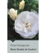 Роза Blanc Double de Coubert Канада120-150(непрер)