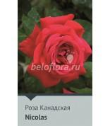 Роза Nicolas Канада 60-75см (непрер.)