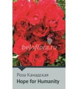 Роза Hope for Humanity 75см(непрерыв.)