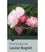 Роза Louis Bougnet 100-150(повтор)