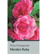 Роза Morden Ruby Канада 100-120см(повтор.)
