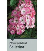 Роза Ballerina Канада100-120 (повтор)
