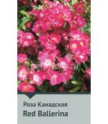 Роза Red Ballerina  Канада 100-150 см (непрер.)