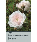 Роза Swany 50-60,почвопокр.(непрерыв)